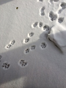 Perfect paw prints in the snow. 30/365